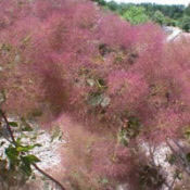 Cotinus_pruikenboom_0003