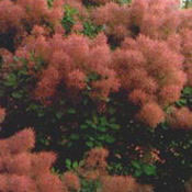 Cotinus_pruikenboom_0005