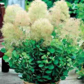 Cotinus_pruikenboom_0006