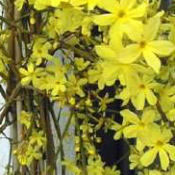 Jasminum_nudiflorum_winterjasmijn_0001