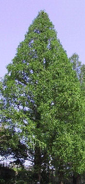 Metasequoia__glyptostroboides_watercypres_0002