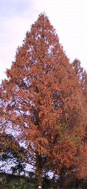 Metasequoia__glyptostroboides_watercypres_0003