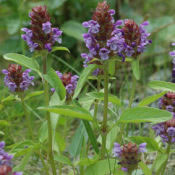 Prunella_vulgaris_brunel_0001