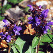 Prunella_vulgaris_brunel_0003